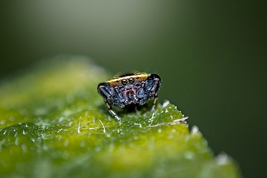 Jumping Spider on a leaf.jpg