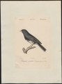 Junco hyemalis - 1842-1848 - Print - Iconographia Zoologica - Special Collections University of Amsterdam - UBA01 IZ16000279.tif