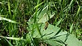 June 2015 Grasshopper in the Grasslands of Northwestern South Dakota (20123069655).jpg