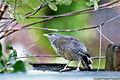 Jungle Babbler (ଗୋବରା ଓ ସାତଭଉଣୀ) 003.jpg