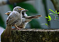 Jungle babbler14.jpg