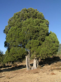 <i>Juniperus thurifera</i> species of plant