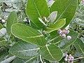 K.Pudur Village Crown flower plants 2.jpg