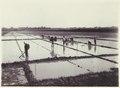 KITLV - 3745 - Kurkdjian - Soerabaja - Farmers working in the rice fields in Java - circa 1900.tif
