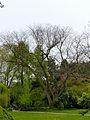 K ND 503.03.44 Japanischer Schnurbaum.jpg