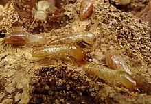 Kalotermes Flavicollis Wikipedia