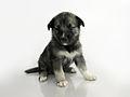 Keeshond Sibirian Husky crossbreed puppy.jpg