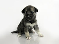 A Keeshond-Sibirian Husky puppy