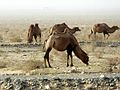 Keriya Hotan Xinjiang China 新疆 和田 于田 - panoramio.jpg