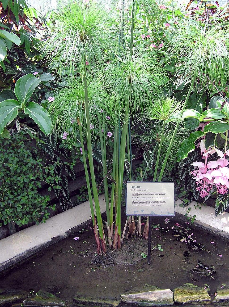 Kew.gardens.papyrus.plant.arp