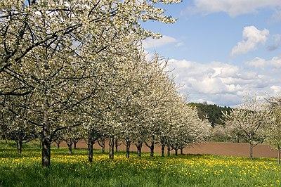 kirschblüten an wand video