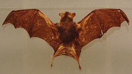 Kitti's hog-nosed bat Stuffed specimen.jpg