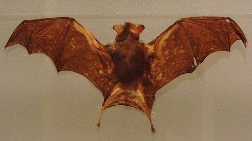 Kitti's hog-nosed bat Stuffed specimen