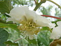 Kiwi Female flower01.jpg