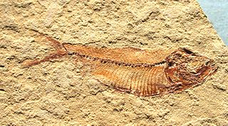 <i>Knightia</i> Extinct genus of fishes