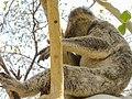 Koala Bär Australien (22506874633).jpg