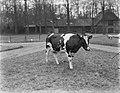 Koe bij de modelboerderij Hofstede Oud-Bussem, Bestanddeelnr 252-0413.jpg