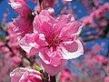 Koga Ibaraki Koga Park Peach Flower 1.JPG