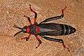 Koppie foam grasshopper (Dictyophorus spumans spumans) 2.jpg