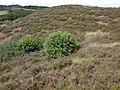 Korina 2011-07-01 Prunus serotina.jpg