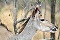 Kudu, Kruger National Park, South Africa (14791345708).jpg