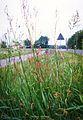 Kwiaty polskie w okolicach Czestochowy w maju 1992.jpg