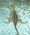 LIZARD, AFRICAN RAINBOW (Agame agame) (5-11-14) fairchild, tropical gardens, miami-dade co, fl (1) (14182904986).jpg