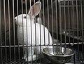 Laboratory Rabbits (24) (47236343712).jpg