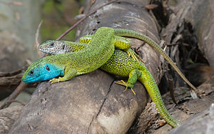 Lacerta viridis - couple 01.JPG