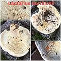 Lactifluus bertillonii 77771193.jpg