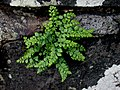 Lady Clermont's Spleenwort Asplenium x clermontiae (6166014772).jpg