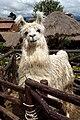 Lama, Chinchero.jpg