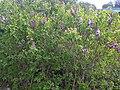 Lamiales - Syringa vulgaris - kew 2.jpg