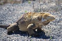 Land Iguana, Galapagos Islands (3391638985).jpg