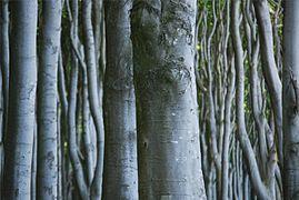 Landschaftsschutzgebiet Kühlung - Nienhäger Holz (Gespensterwald) (15).JPG