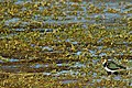 Lapwing - Rutland Water (23810912560).jpg