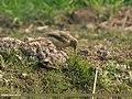 Large Grey Babbler (Turdoides malcolmi) (32311819524).jpg