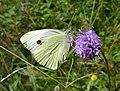 Large White. Pieris brassicae (36747344280).jpg