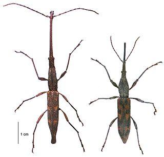 New Zealand giraffe weevil Species of beetle