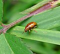 Leaf Beetle. Neocrepidodera species, possibly N. impressa. Chrysomelidae - Flickr - gailhampshire.jpg