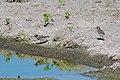 Least sandpiper (27105035136).jpg