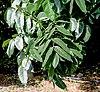 Leaves I IMG 8668