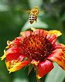 Left bee-hind (2539648120).jpg
