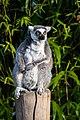 Lemur (33553759520).jpg