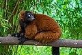 Lemur (36614941045).jpg
