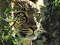 Leopard tree Serengeti-3.jpg