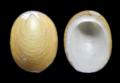Lepetodrilus ovalis.png