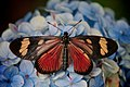 Lepidoptera with black and red (2578564392).jpg