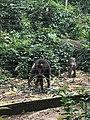 Les mandrils dans le Park de la Mefou2.jpg
