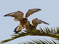 Lesser kestrel chick and its male parent - 01.jpg